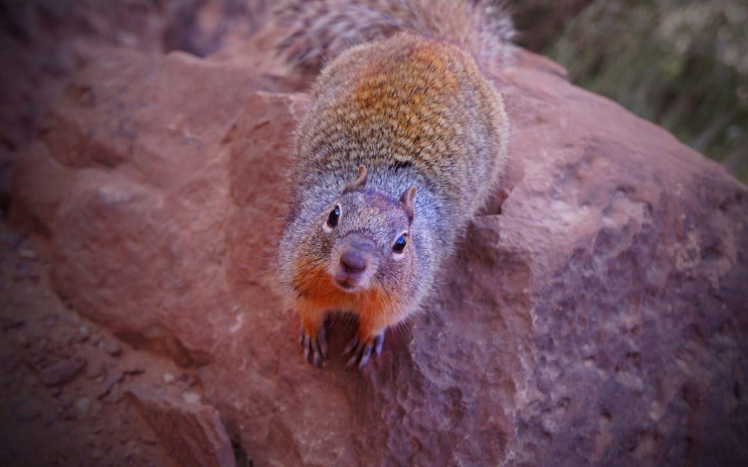 Rock Squirrel at Grand Canyon - do not feed these guys