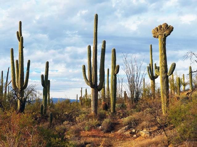 The Saguaro Cactus: An Arizona Desert Icon